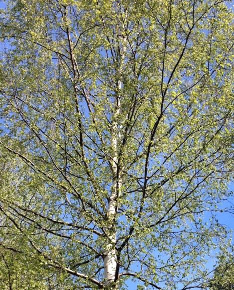 Birch of spring (own photo)