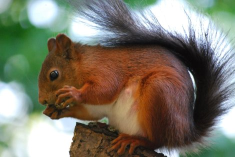 Swedish Squirrel form Wikimedia Commons by  Hernán De Angelis Campephilus