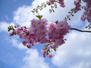 Flowering_cherry_bloom