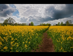 Rapeseed Field by Matt Batchelor, on Flickr